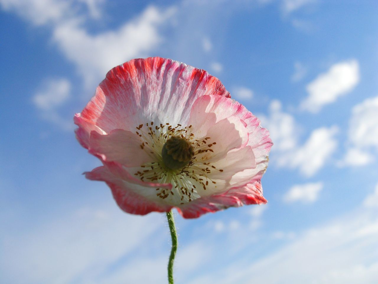 Poppy Pavot Coquelicot ポピー Sky Ciel Bleu Cielo Azul Petal Flower 青い空