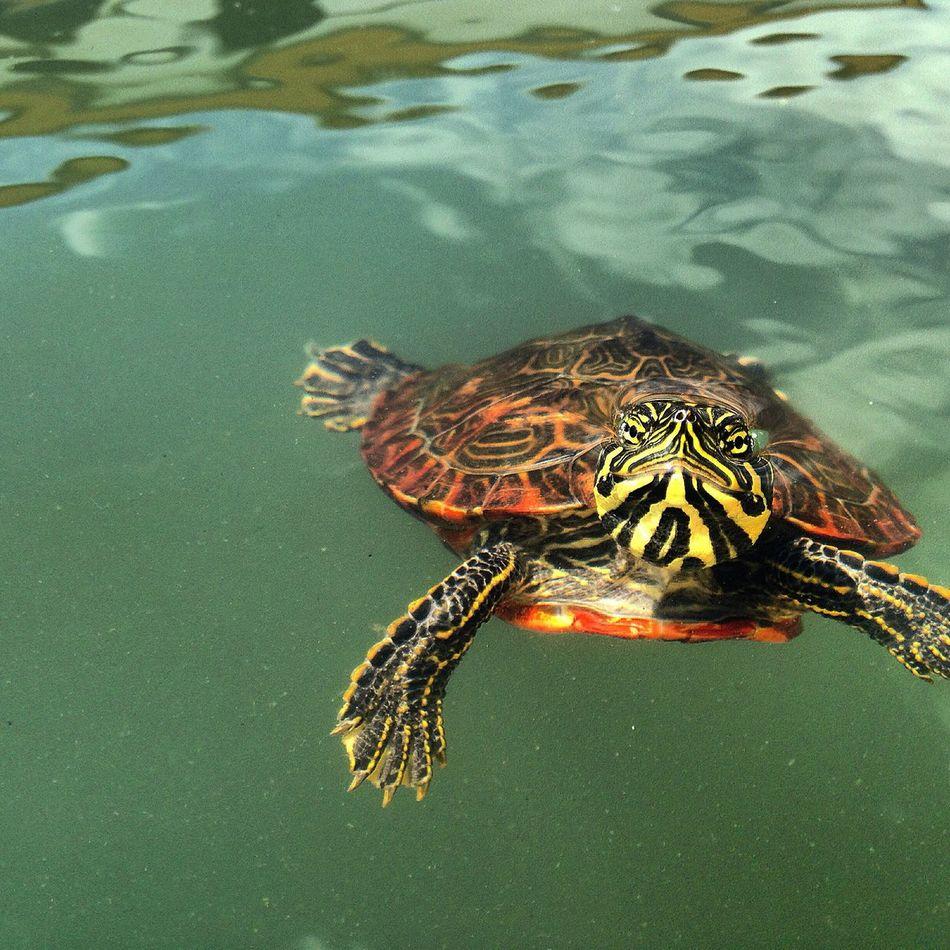 Beautiful stock photos of schildkröte, Animal Themes, Animal Wildlife, Animals In The Wild, Bombarral