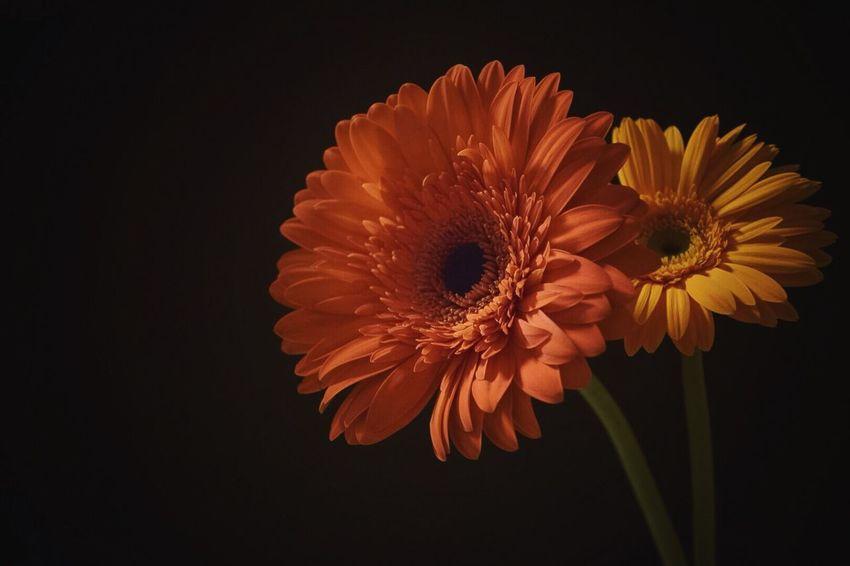陰日向  Flower Petal Fragility Flower Head Close-up Studio Shot Orange Color Black Background Beauty In Nature Freshness Nature No People Gerbera Daisy Pollen Day