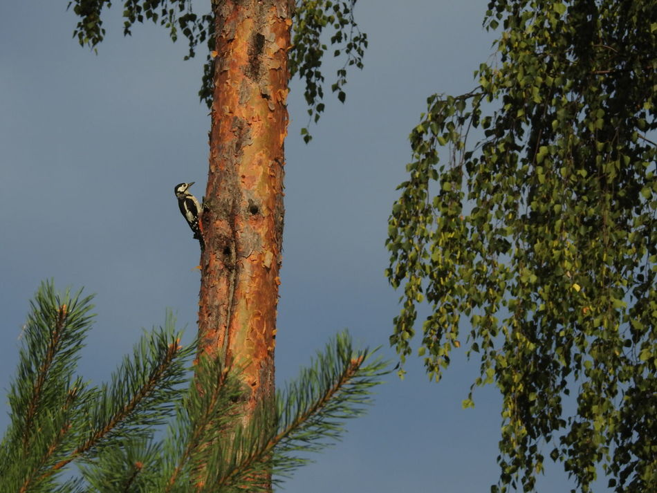 Beautiful stock photos of woodpecker,  Animal Themes,  Animals In The Wild,  Beauty In Nature,  Bird