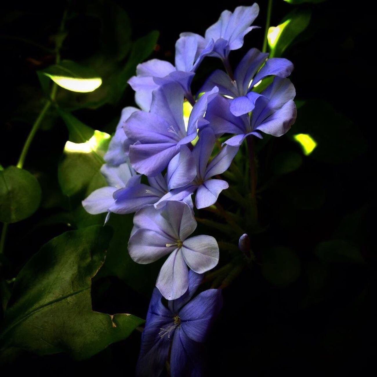 Plumbago Flower Nature Beauty In Nature Petal Plant Close-up No People Outdoors Plumbago Blue Blue Flowers Periwinkle