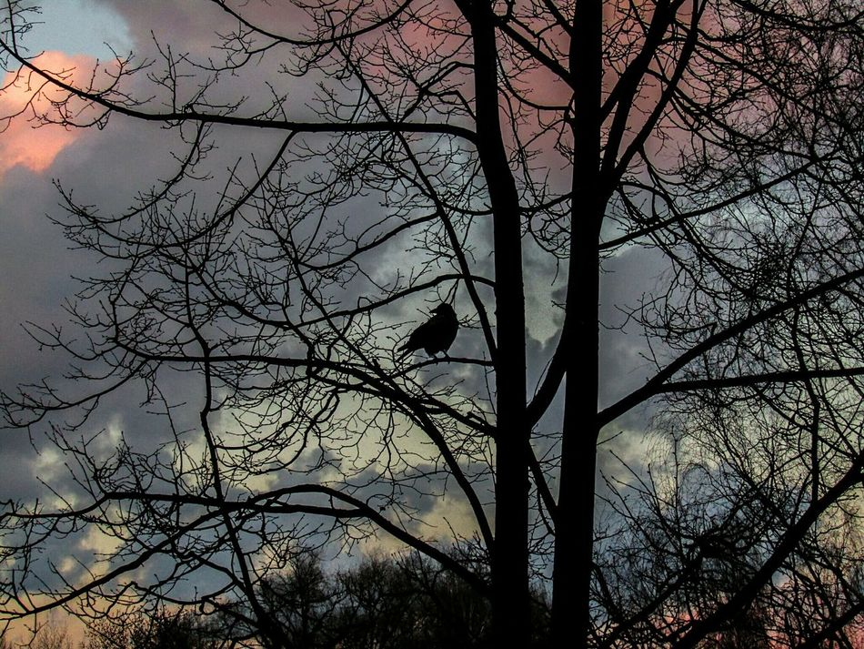 Bird Tree Branch Animals In The Wild Silhouette Animal Themes Bare Tree Nature Outdoors One Animal Sky No People Beauty In Nature Day Raven - Bird Crow Latvia Riga Neighborhood Clouds Skies Sunset