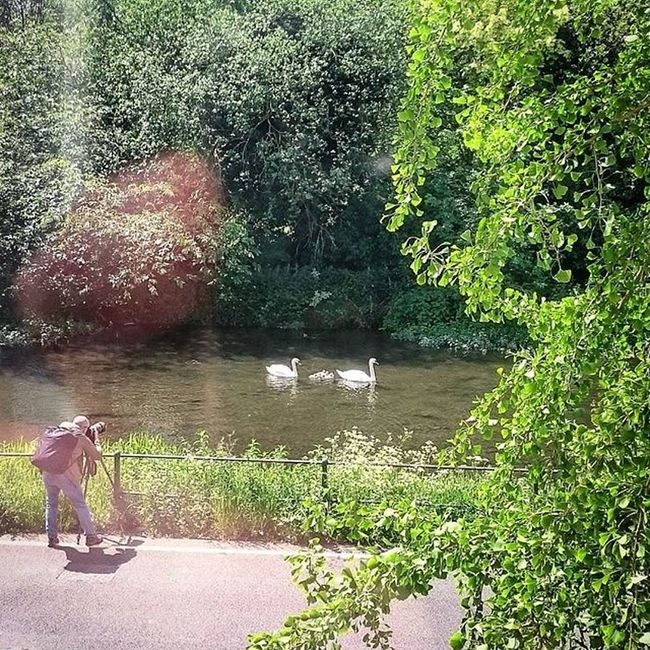 Mummy and Daddy Swan, with their newly hatched Signets.. Swans Cygnets Ware Hertfordshire GSK Photographer Nature Officewindow Officeview Animals Birds Wildlife Water Canal Picturesque Picoftheday ICAN Sony XPERIA Capture Snapshot