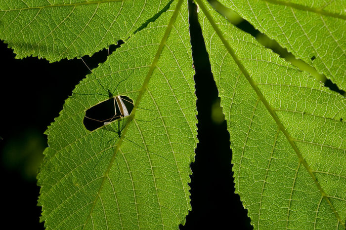 Peep hole. Mating Pair Of Insects Mating Leaf Green Color Insect One Animal Animals In The Wild Animal Wildlife Animal Themes Close-up Beauty In Nature Nature