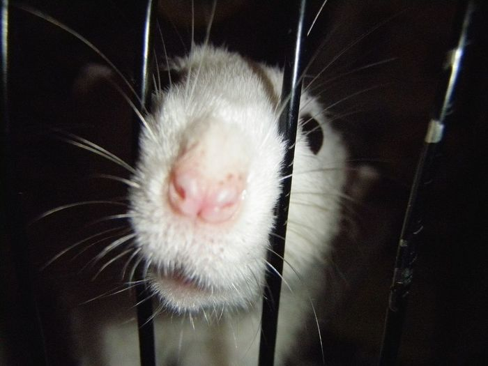 *Rat-nose-day* Rat-nose-day Ratte Rat EyeEmNewHere Pets One Animal Animal Themes Domestic Animals Indoors  Mammal Close-up No People