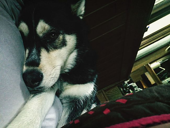 """What Makes You Strong? My Siberian Husky, Jink. She is my rock and my strength. I adopted her at a point in my life when I felt beyond hope; I always say """"Who rescued who?"""" Rescued Husky Siberian Husky"""