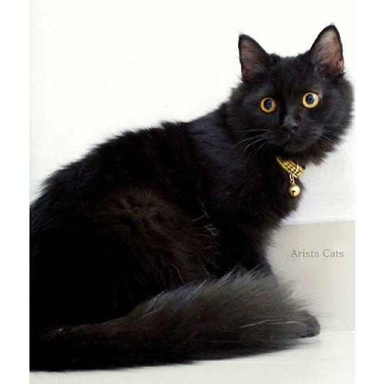 Tammy Arista ~ My sirius black. Blacky  Blackcats Instacat Igcats catsoftheday catsofinstagram kittensofinstagram kissa neko gato kot kucing catlover petstagram 5mrarista