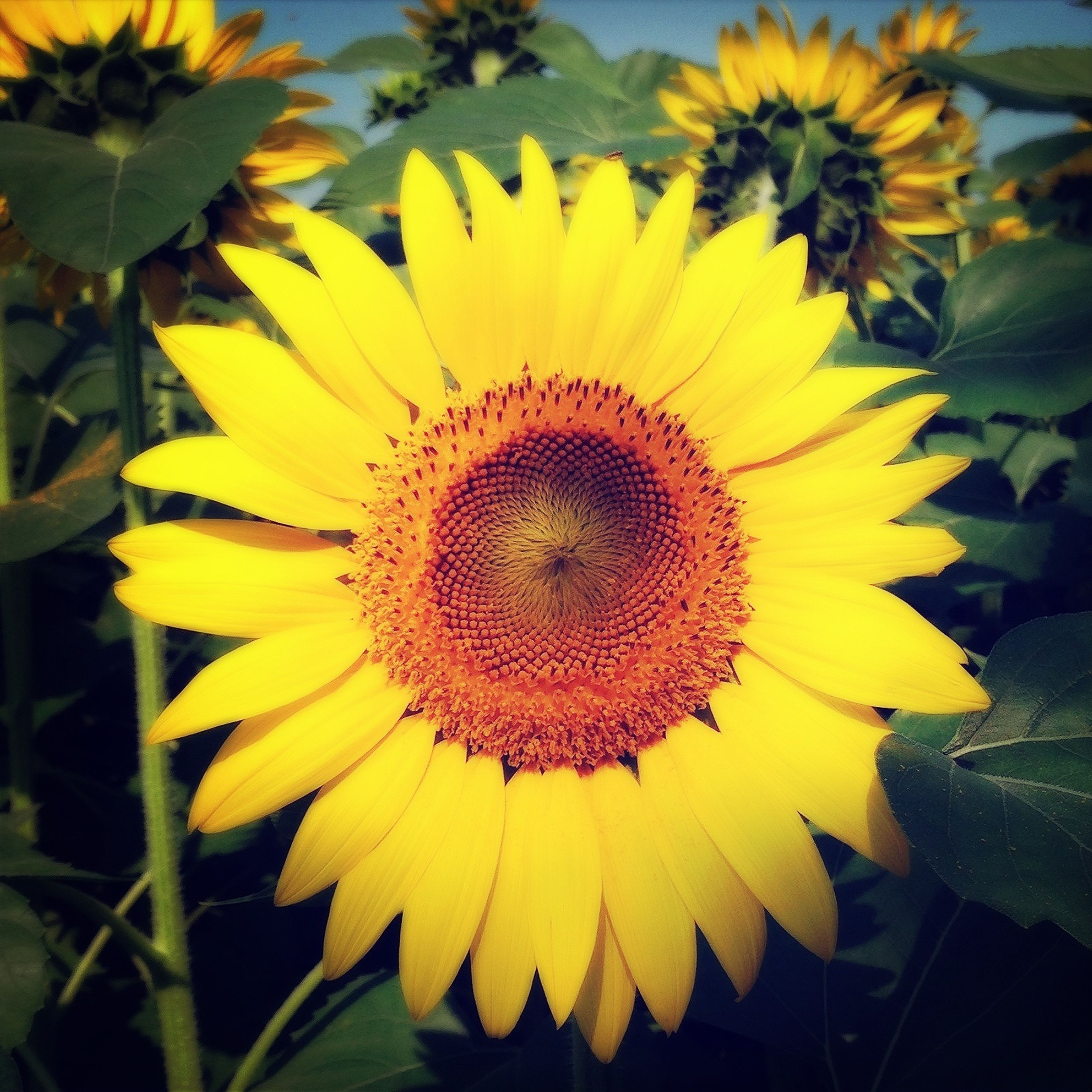 flower, yellow, petal, freshness, flower head, fragility, sunflower, growth, pollen, beauty in nature, blooming, plant, single flower, close-up, nature, leaf, in bloom, focus on foreground, outdoors, day