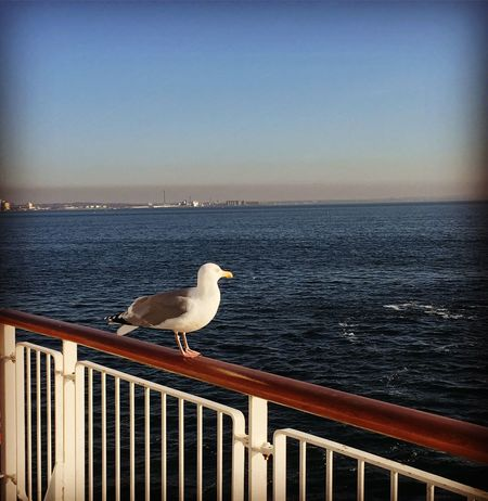 Sea Bird Railing Water Animal Themes Horizon Over Water Animals In The Wild Nature Perching Seagull One Animal Clear Sky Beauty In Nature Animal Wildlife No People Outdoors Sky Day
