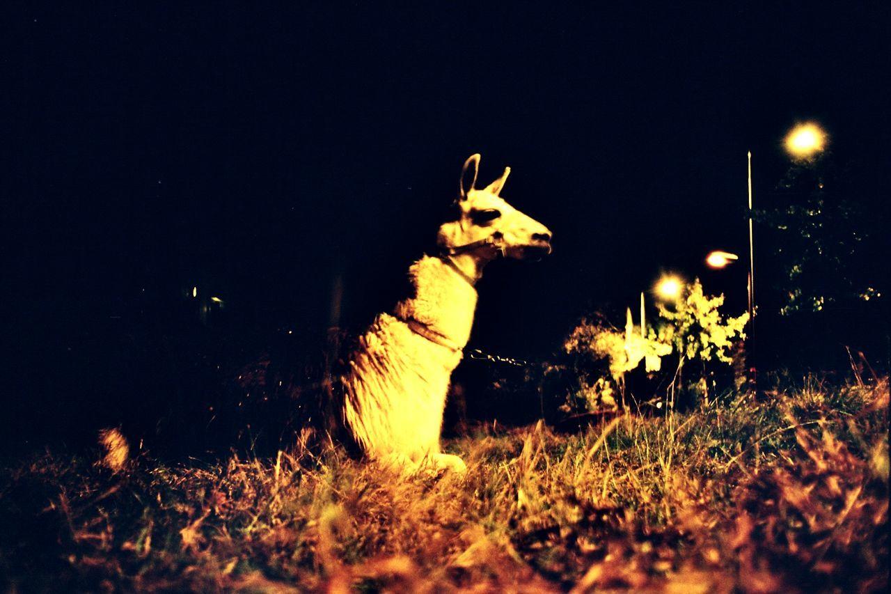Lama Glama 35mm Film Filmisnotdead Lama Colorful 35mm Slide Ishootfilm Canonae1 Animal Wild Wildlife & Nature Film Analog Velvia100 35mm