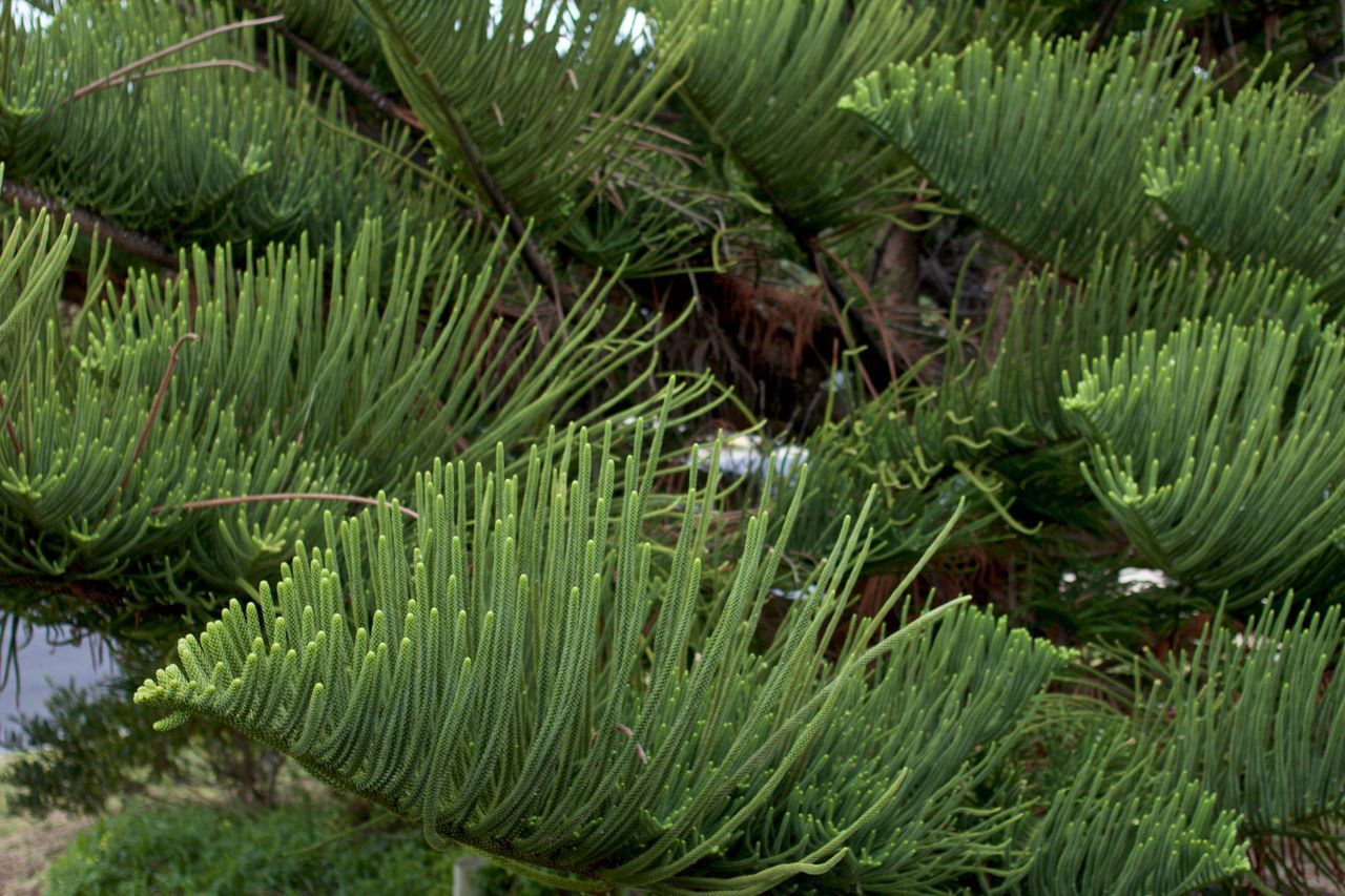 Beauty In Nature Close-up Forest Green Color Growth Nature Needles No People Norfolk Pines Outdoors Pine Pine Tree Plant South Australia Tranquility Tree