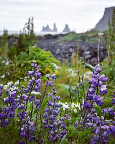 Lupins of Iceland. Vík beach Flower Freshness Fragility Growth Iceland Nature Plant Beauty In Nature Nature Stem Focus On Foreground Close-up Petal Selective Focus Field Botany Wildflower Uncultivated Blue Flower Head Day