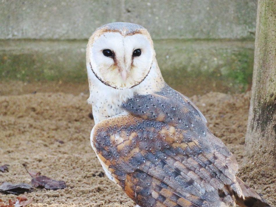 Stunning Owl taken at Africa Alive Lowestoft Suffolk Animal Themes One Animal Zoo Lowestoft Zoo Animals  Owl EyeEmNewHere