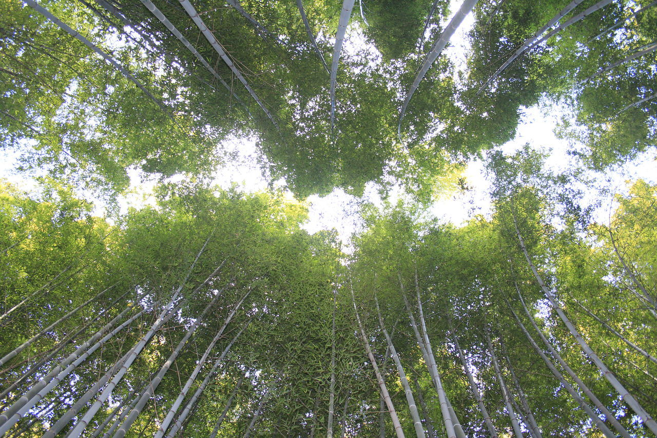 tree, green color, nature, growth, beauty in nature, low angle view, forest, bamboo - plant, tranquil scene, tranquility, bamboo grove, outdoors, no people, day, branch, sky