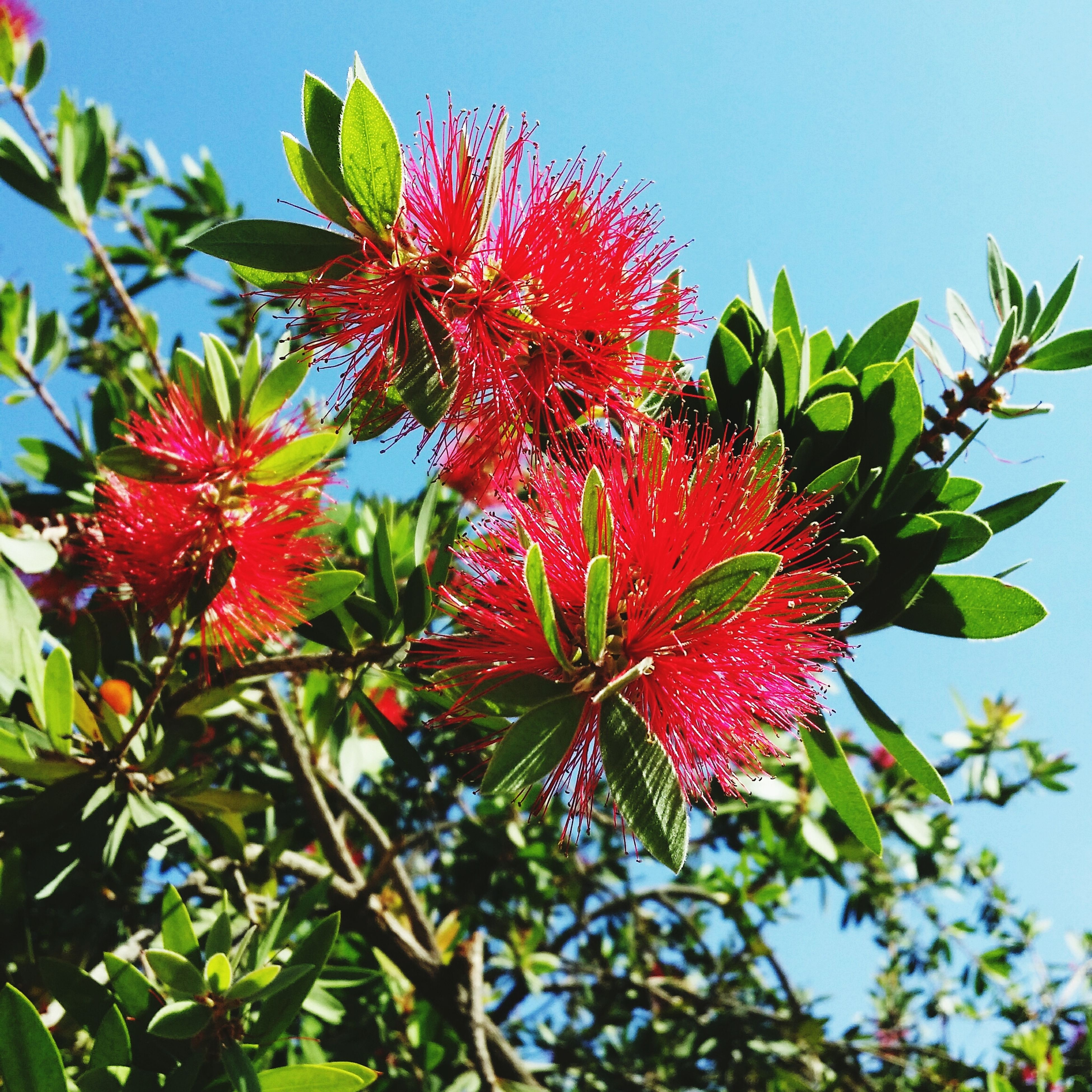 red, growth, low angle view, leaf, freshness, tree, clear sky, beauty in nature, branch, nature, flower, sky, close-up, fragility, day, sunlight, outdoors, no people, plant, fruit