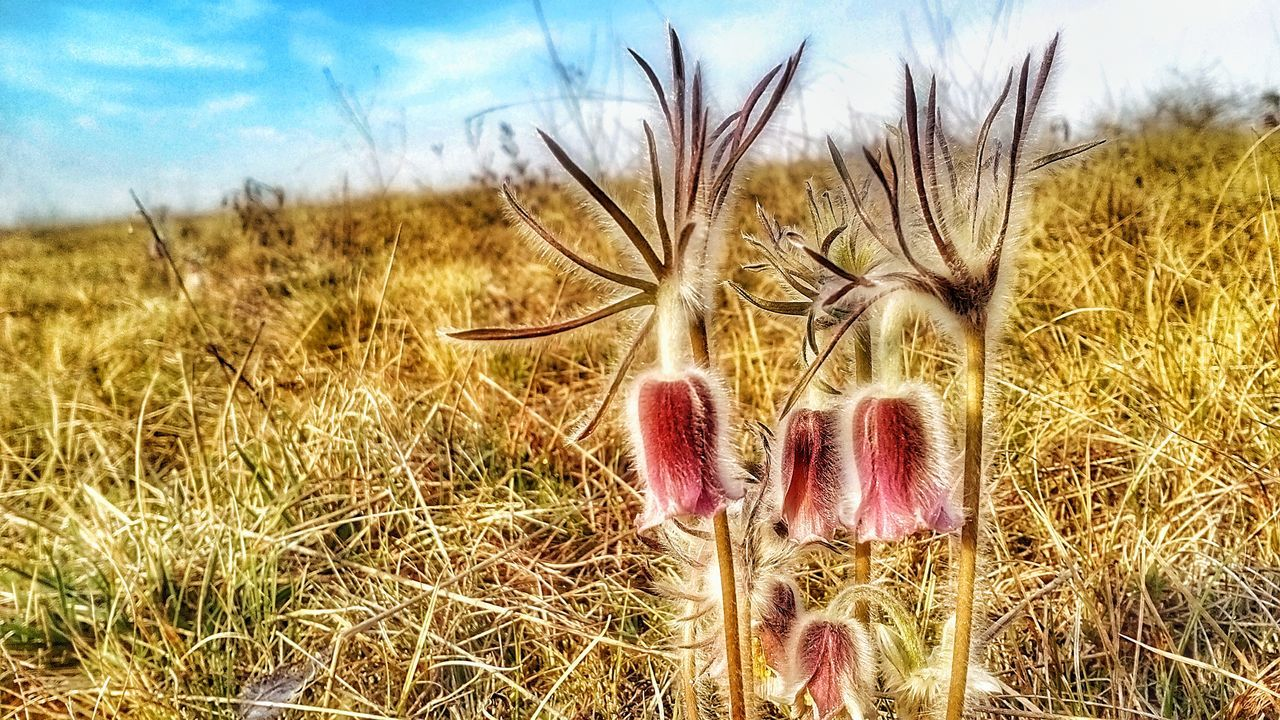 Pulsatilla Flavescens Hungarica Pratensis Subspecies Species Flower Flora Flos Endangered  Rare Nature Endangered  Conservation Sand Grass Purple Ranunculales Ranunculus Outdoors Day Sky Blue Close-up Beauty In Nature
