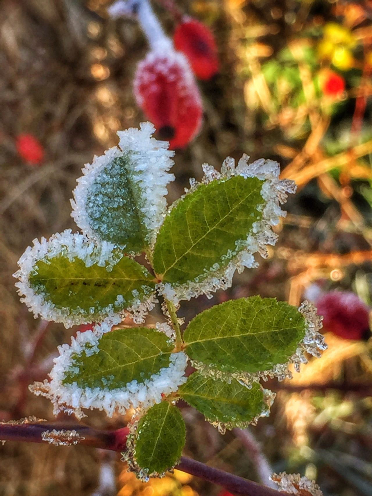 Frosted Rosé Bush Leaves Frosty Frost Frosted Icy Rose Hips Rose Bush Rosé Roses November