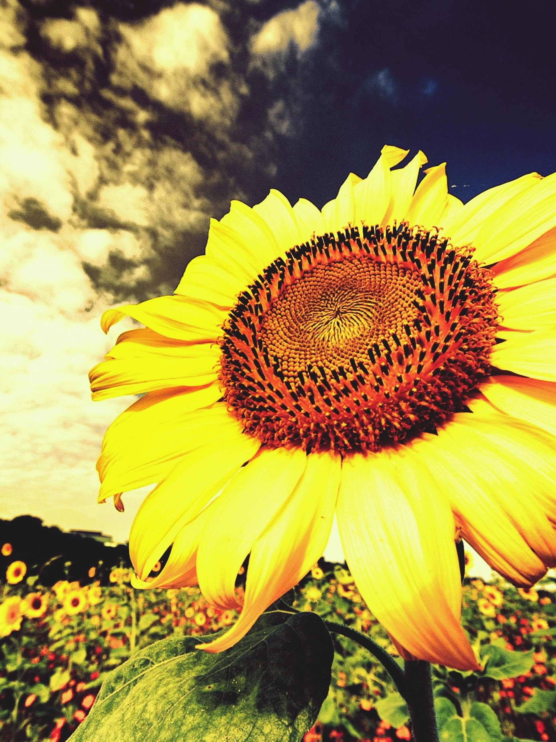 flower, yellow, petal, freshness, flower head, fragility, sunflower, growth, beauty in nature, pollen, sky, single flower, blooming, plant, nature, close-up, field, in bloom, focus on foreground, outdoors