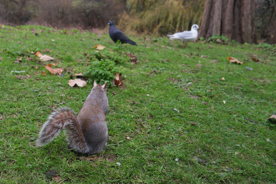 Animal Animal Themes Animals In The Wild Bird Dont Look Back Focus On Foreground Green Color Nature No Looking Back No People Pigeon Squirrel St James Park  Tranquility Wildlife Zoology