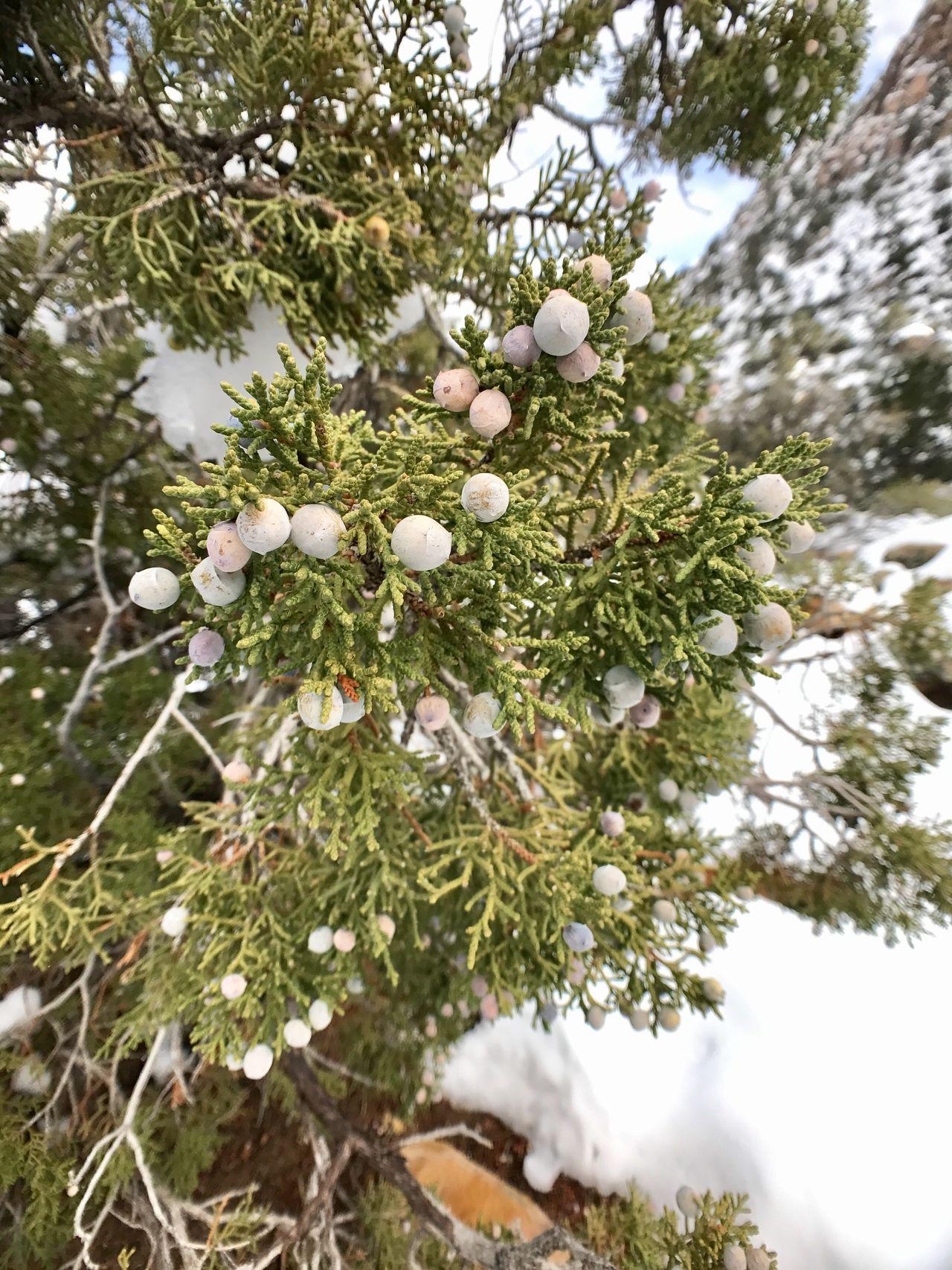 Juniper tree Redrock Lasvegas