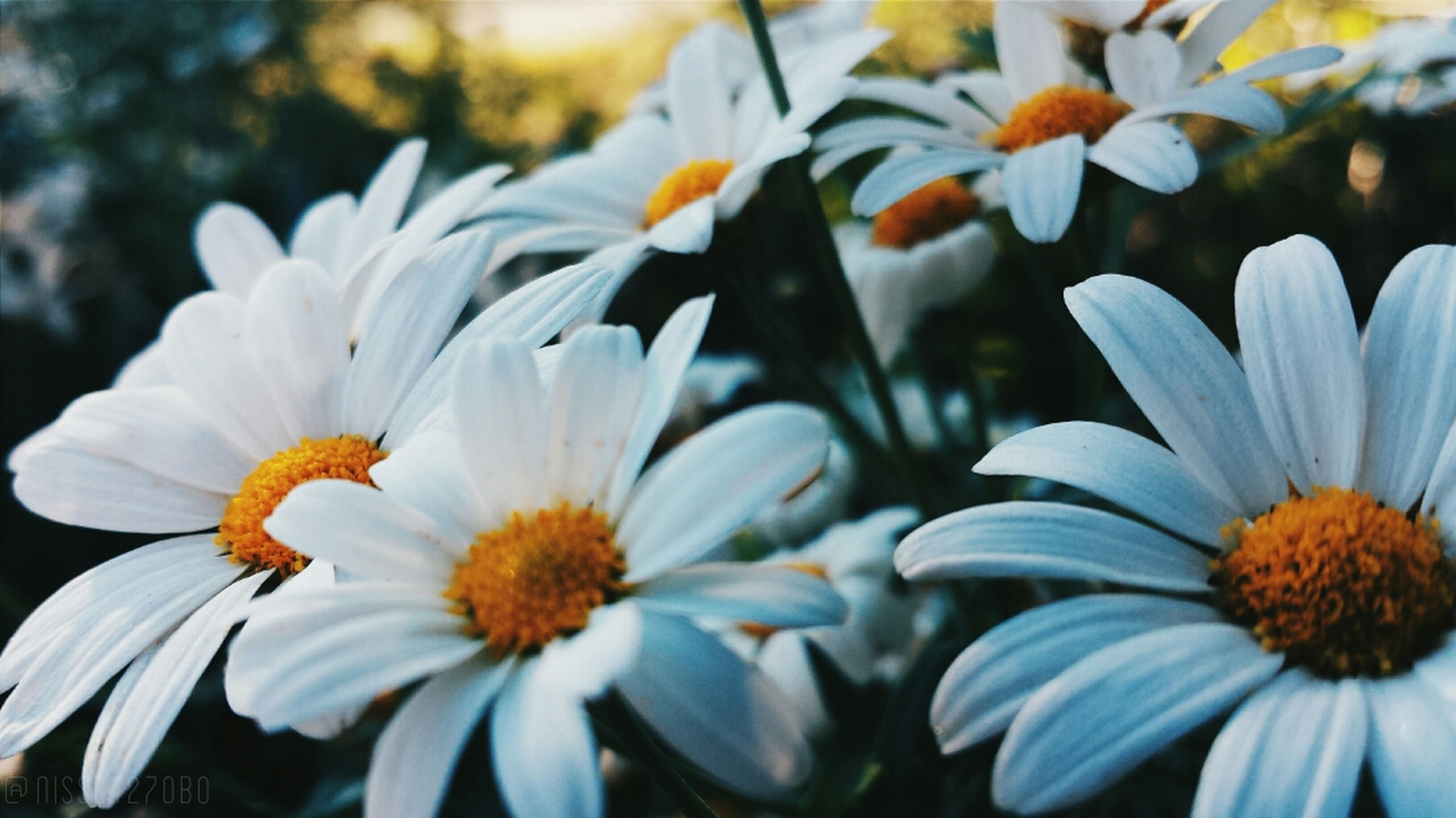 flower, petal, freshness, fragility, flower head, growth, beauty in nature, blooming, pollen, daisy, close-up, white color, nature, focus on foreground, plant, yellow, in bloom, high angle view, stamen, blossom