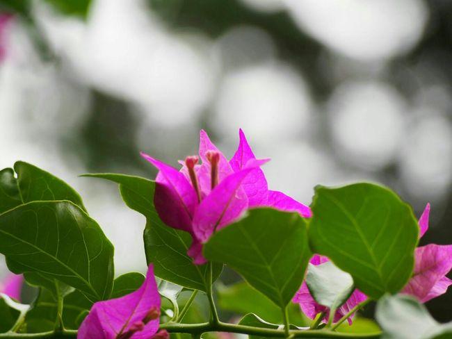只今…素敵な玉ボケ撮れるようにがんばり中♪ Flower ブーゲンビリア Eye Em Nature Lover Flower Collection EyeEm Best Shots 玉ボケ