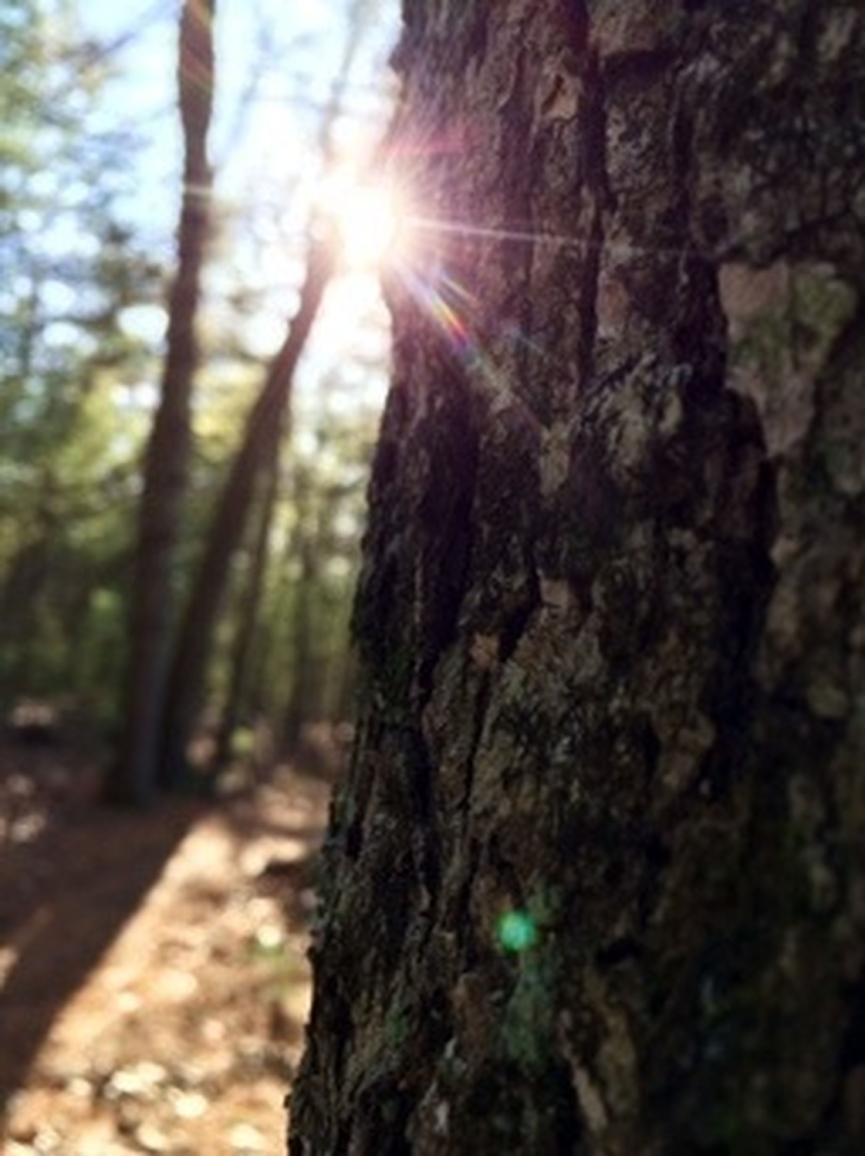 tree, tree trunk, textured, sunlight, nature, focus on foreground, lens flare, low angle view, close-up, bark, sun, rough, sunbeam, forest, tranquility, outdoors, selective focus, growth, day, no people