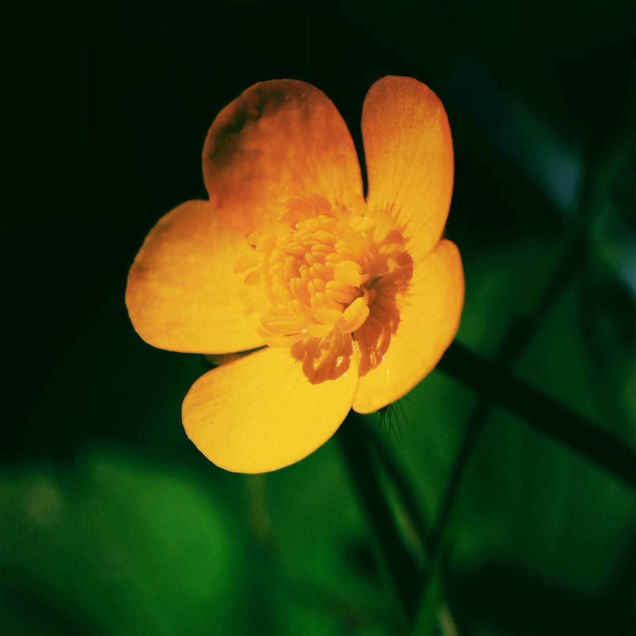 Little buttercup. Flower Nature Growth Yellow Plant Beauty In Nature Petal Fragility Close-up No People Flower Head Freshness Blooming Outdoors Day Buttercup Stem Stems Macro Macro Photography Macro_collection Nature_collection