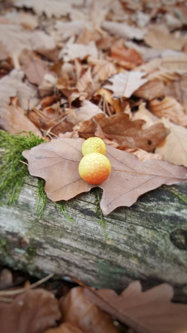 Leaf Nature Autumn Outdoors Leaves No People Day Beauty In Nature Gallapfel Oak Apple