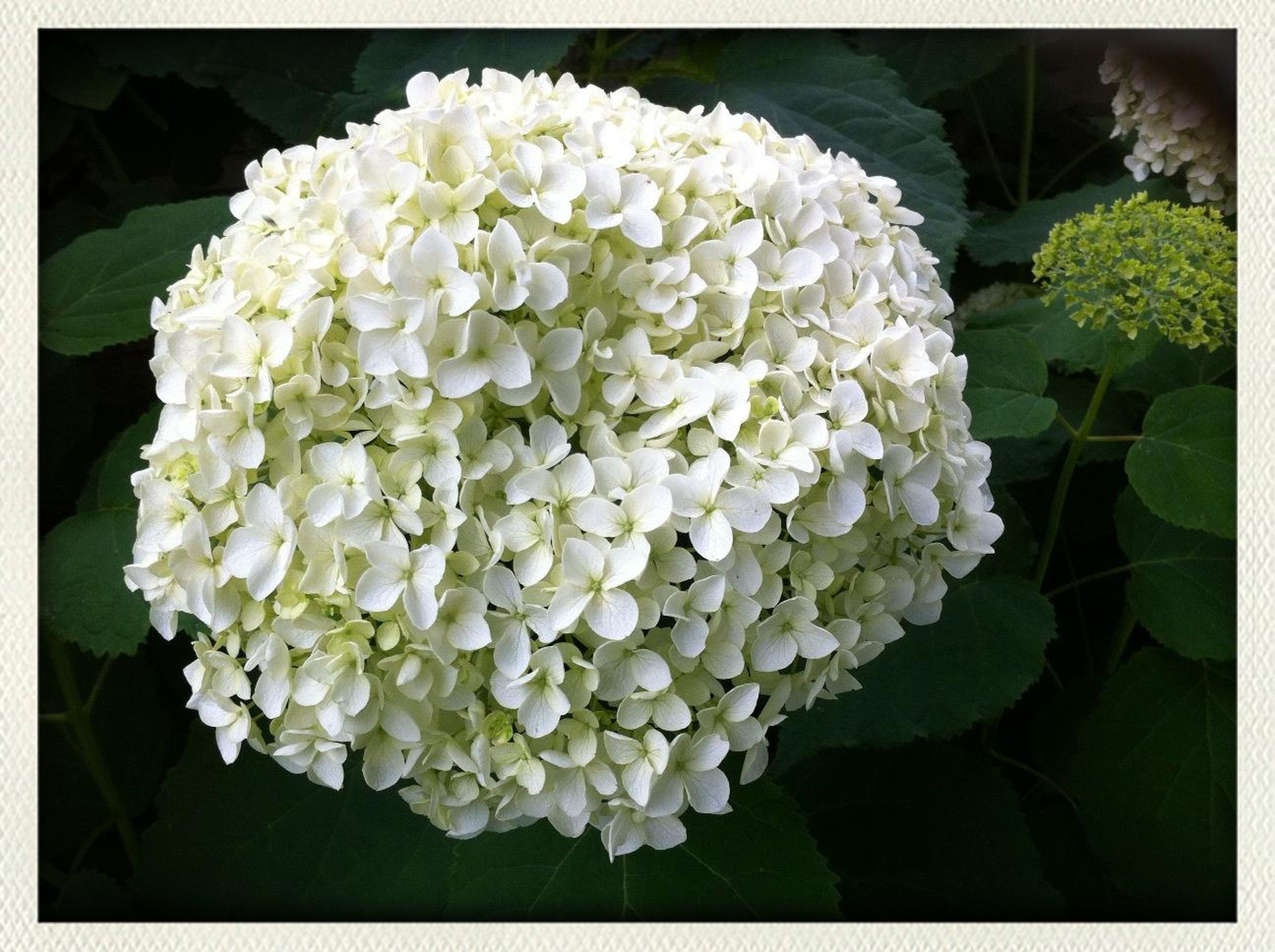 flower, transfer print, freshness, petal, fragility, flower head, beauty in nature, growth, auto post production filter, close-up, nature, blooming, plant, bunch of flowers, blossom, in bloom, white color, high angle view, no people, botany