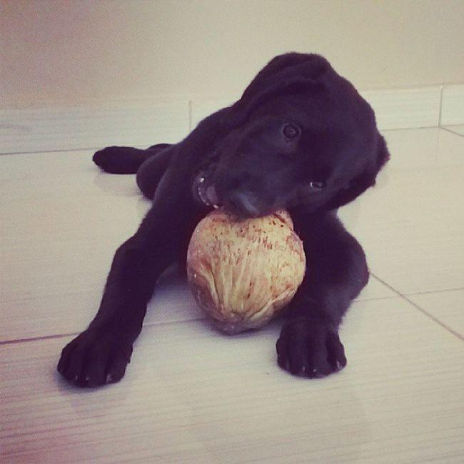 I have a coconut. Worldoflabs Laboftheday LabradorLove Rondolabs labinstagram