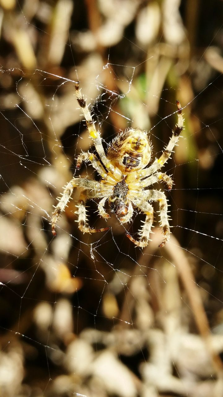 spider, spider web, one animal, animals in the wild, survival, web, spinning, animal themes, close-up, nature, selective focus, insect, weaving, outdoors, animal wildlife, day, no people, fragility