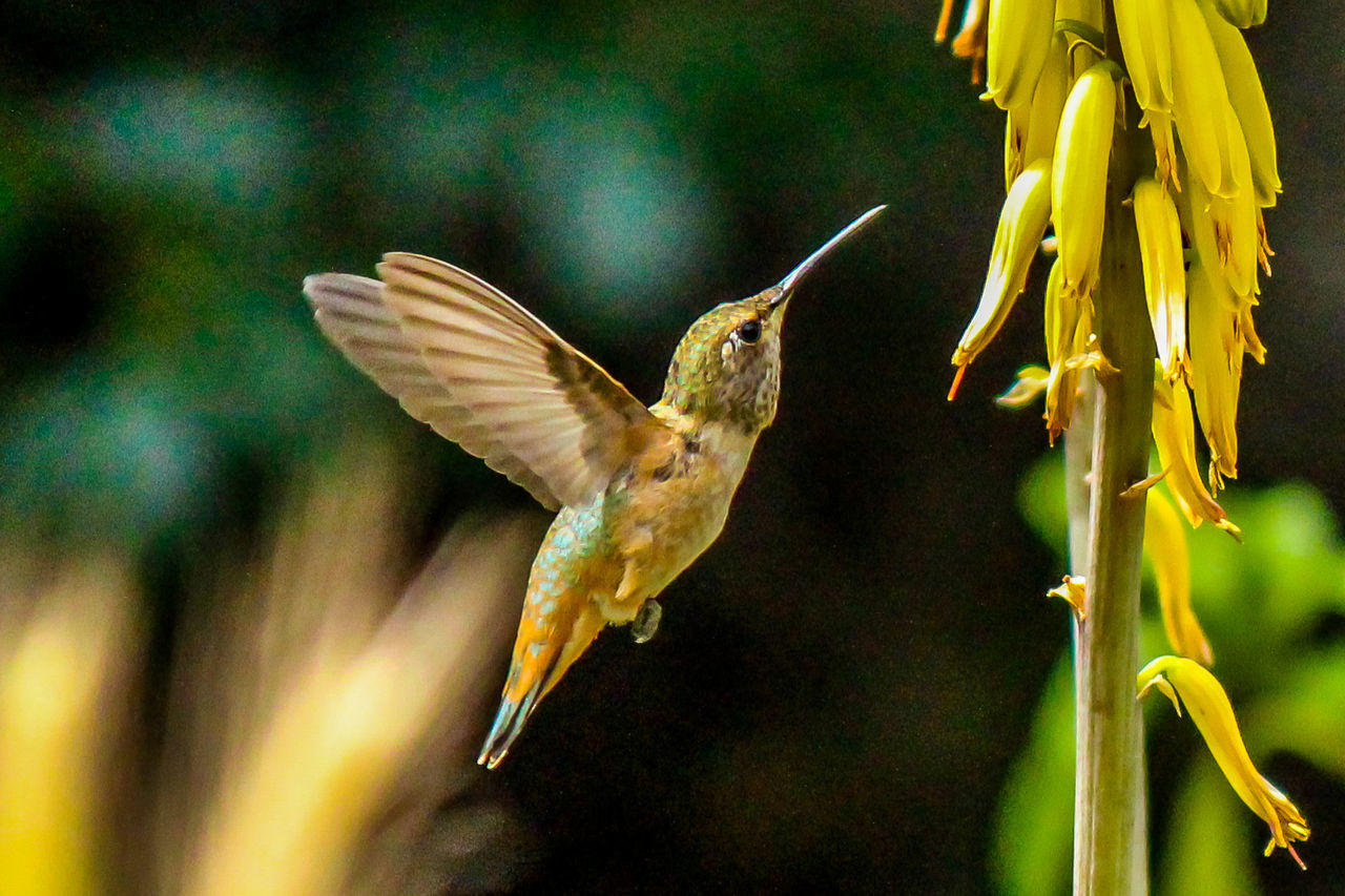 Animal Body Part Animal Themes Animal Wildlife Animals In The Wild Beauty In Nature Bird Close-up Day Exploring Style Flying Hummingbird Motion Nature No People One Animal Outdoors Spread Wings