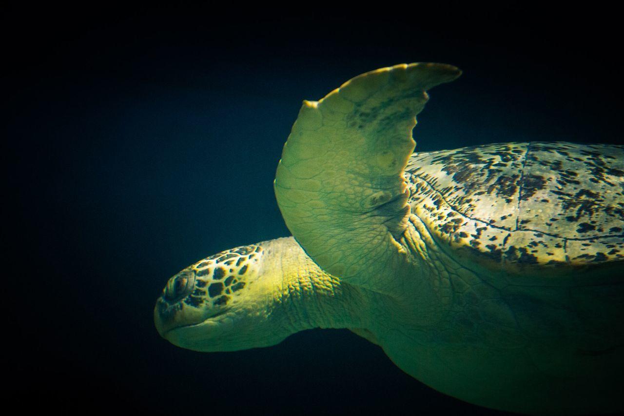 Aquarium Turtle Sea Turtle Swimming Seaturtlesanctuary Big Sea Turtle Canada BC Vancouver BC Vancouver Aquarium