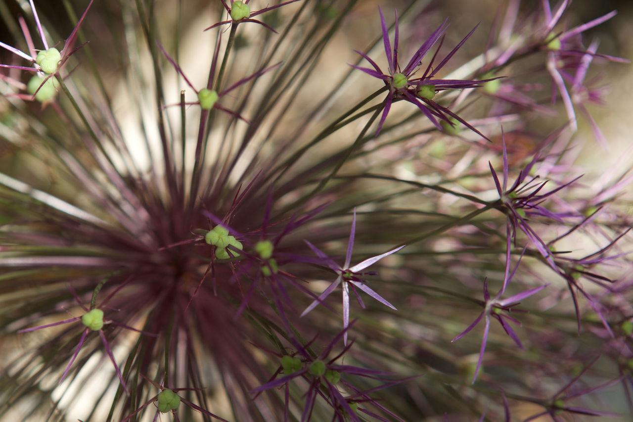 Allium Gigantum Beauty In Nature Close-up Flower Flower Head Focus Object Fragility Freshness Growth Maximum Closeness Nature Plant