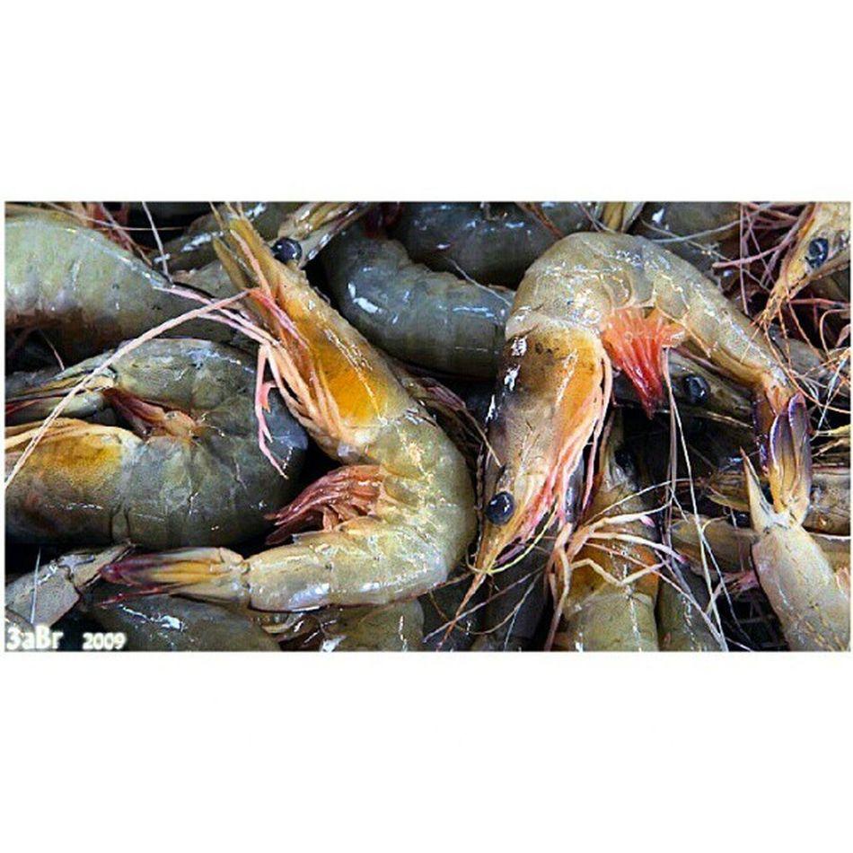 ربيان مزارع لونه يميل للاخضر حراج السمك الجبيل البلد Shrimp farms green color tends to forestry fish Jubail country x3abrr Flickr facebook twittr