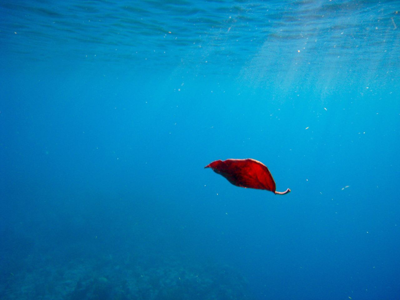 red, water, one animal, animal themes, blue, swimming, animals in the wild, sea life, nature, fish, no people, underwater, animal wildlife, beauty in nature, undersea, day, outdoors, close-up
