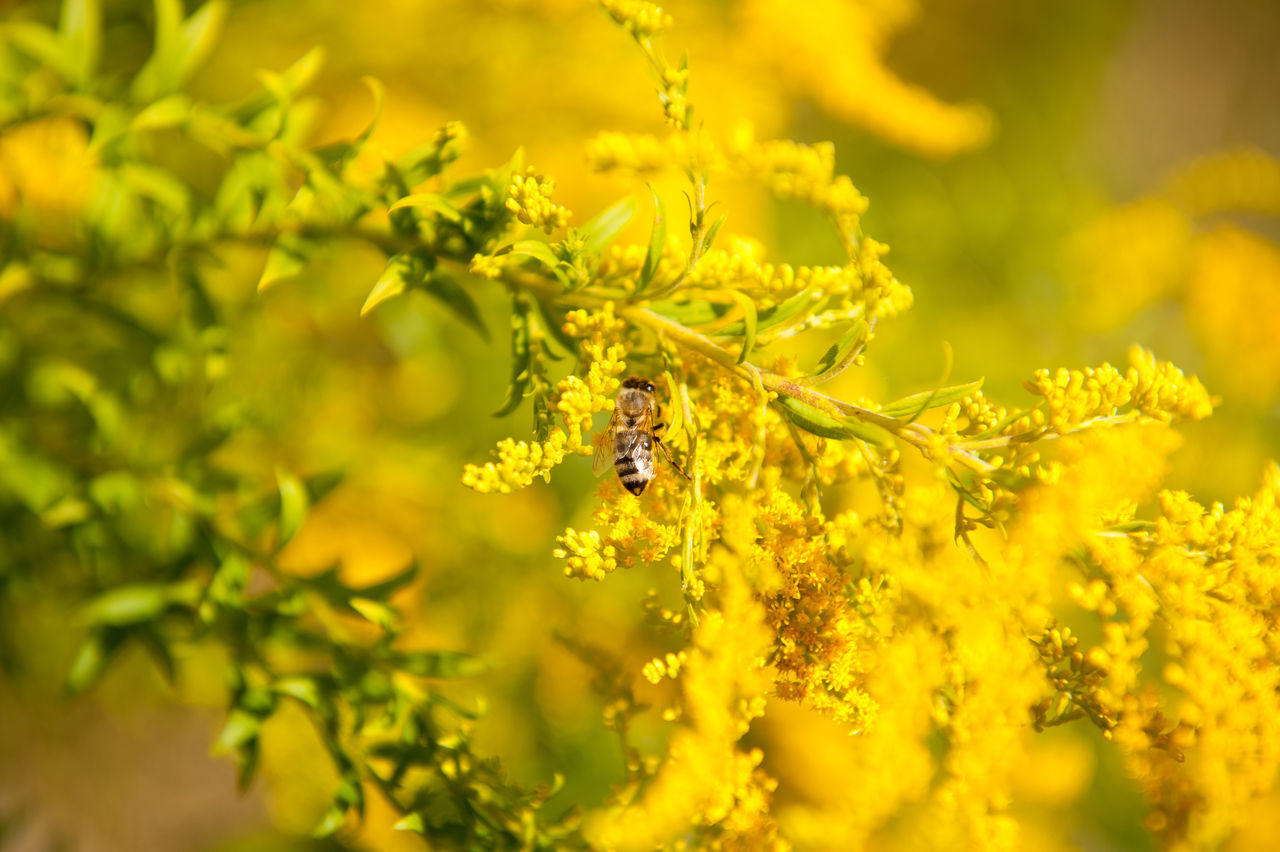Bee pollinates Solidago virgaurea or Goldenrod or Woundwort yellow herb flowers, zoom on honeybee taking nectar in plenty bushy bee plants with rampant inflorescences, horizontal orientation, photo taken in Poland, early autumn season. Animal Autumn Bee Bloom Blooming Blossoming  Flower Flowering Flowers Goldenrod Herb HoneyBee Inflorescence Insect Nature Nectar Perennial Plant Pollen Pollinate Pollination Solidago Solidago Virgaurea Woundwort Yellow