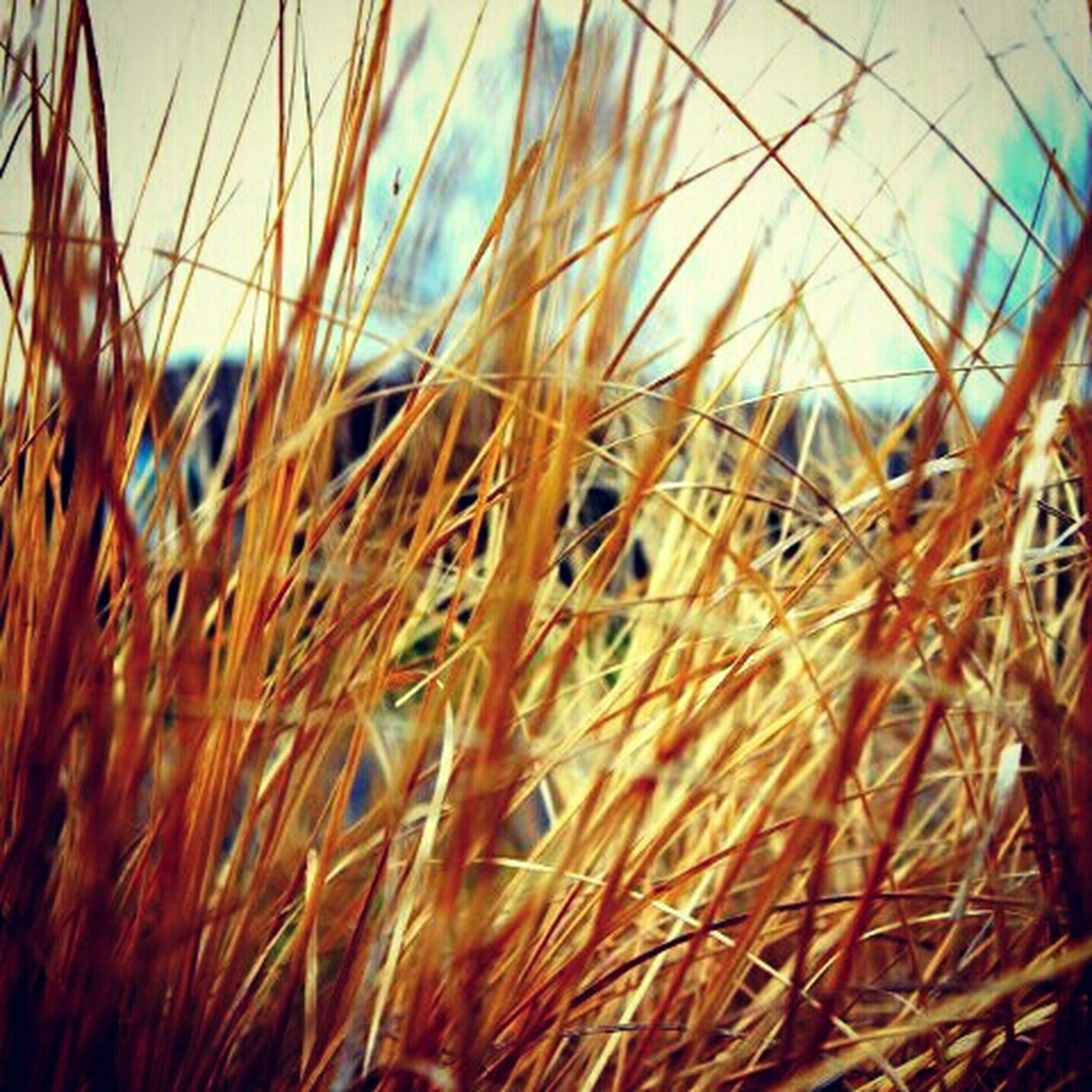 plant, grass, growth, close-up, nature, sky, field, dry, selective focus, straw, focus on foreground, sunset, tranquility, cereal plant, agriculture, growing, outdoors, crop, day, no people