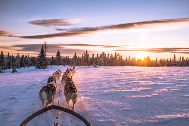 Showcase: January Snow ❄ Mush Dog Animal Themes Snow Cold Temperature Dogs Clouds And Sky Dog Sledding Winterwonderland Winter Wonderland Eyem Nature Lovers  Wintertime Husky Sunset Dog Sled Mush Camp Sled Dog Musher Adventure Cold Winter ❄⛄ Winter Sledge Dog Dog Sleddog
