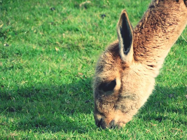 Alpaca in field. Nature One Animal No People Animal Eating Outdoors Focus On Foreground Animal Grazing Photography Animal Animal Photography Alpaca Cute Zoo Close-up Zoom Wildlife Wild Eating Grass Grazing Grass Area Part Of Animal Body Part Sunlight Animals In The Wild