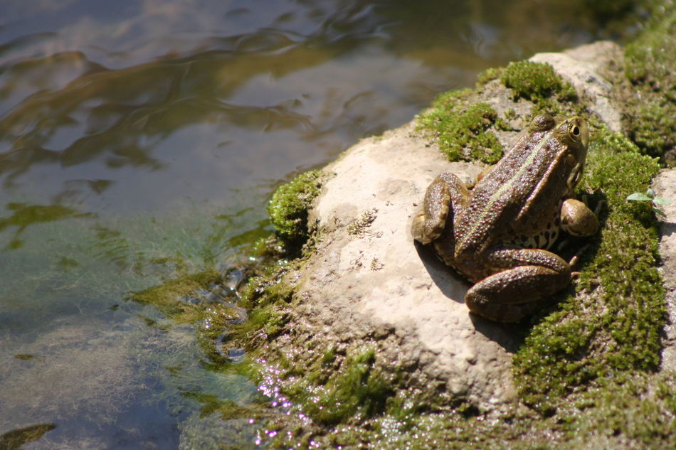 Beautiful stock photos of frog, Day, Frog, Full Length, Horizontal