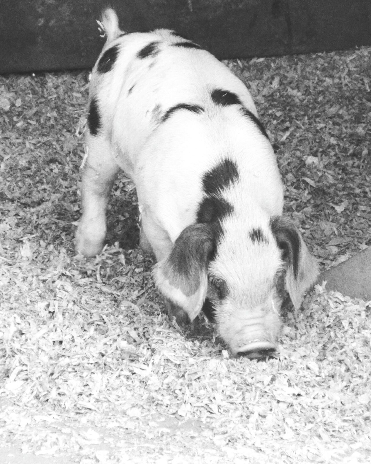 BabyPig Cuteness Close-up Love To Take Photos ❤ Blackandwhite Eyephotography