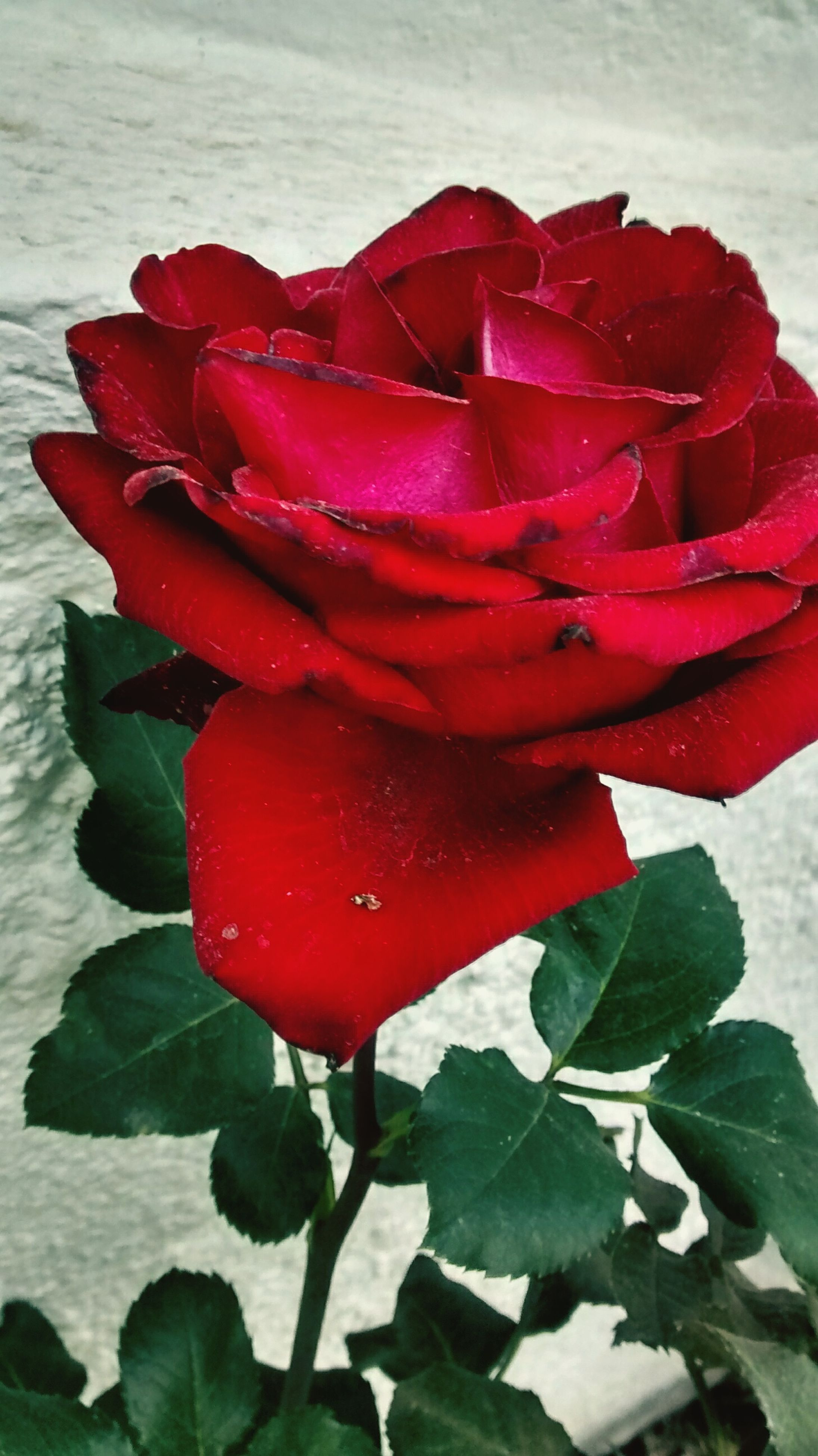 red, freshness, flower, petal, flower head, fragility, close-up, beauty in nature, growth, single flower, water, drop, rose - flower, leaf, wet, plant, nature, blooming, focus on foreground, high angle view