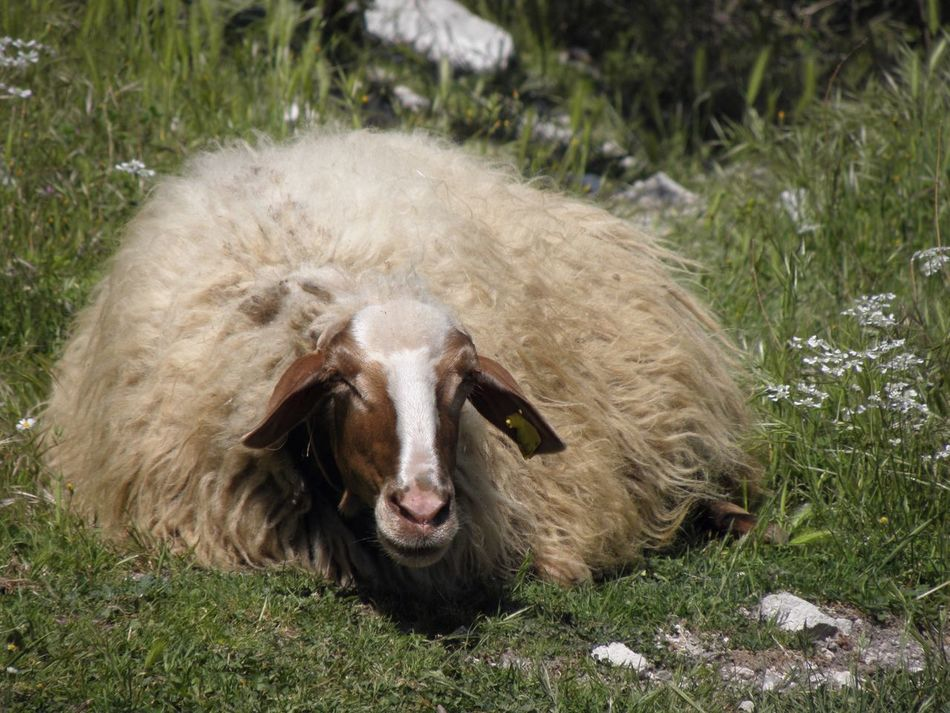 Cloak Fiber Natural Fibers Close-up Natural Fiber Natural Solar Energy Sunny Day Sleeping Sheep Day Outdoors No People Field Grass One Animal Mammal Animal Themes Wool Nature Lazy Day Shearing EyeEmNewHere