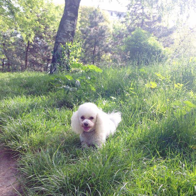 Dog smile :))) Bichon Frise Dog Dog Love Blanca Enjoy Walking Bucharest Romania Showcase April