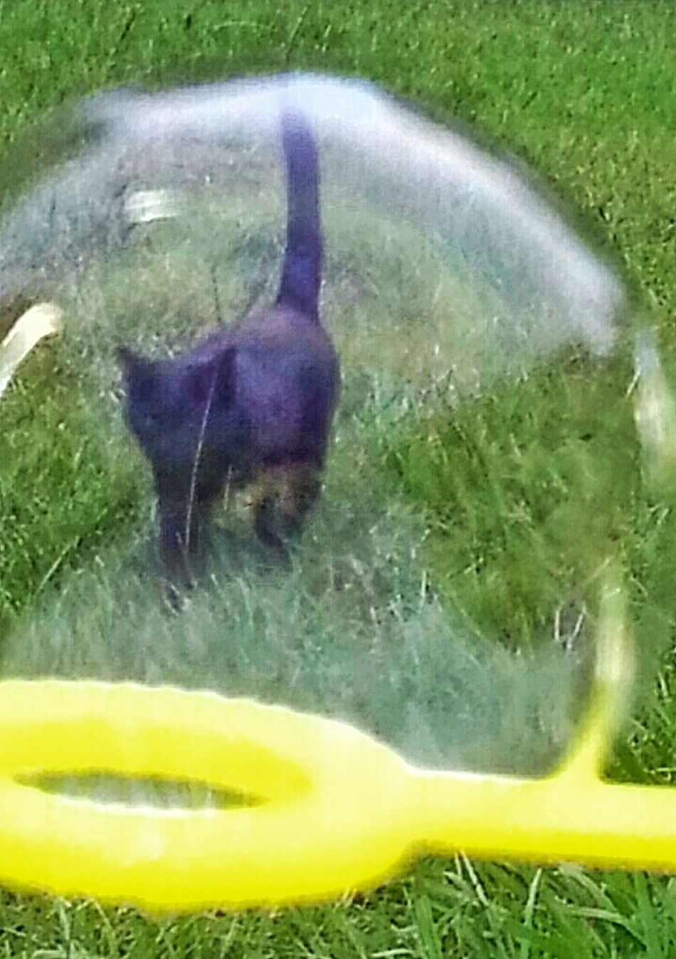 Cat In A Bubble Bubble Blowing Bubbles Cats Black Cat Cat Photography Cats Of EyeEm Outdoor Photography Animal Lovers Cat Lovers Shapes And Forms Round Circle Green Grass Playing Outside Cats Natural Light Photo Natural Light Portrait