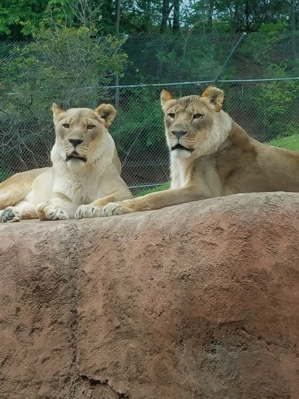 animals in the wild, animal themes, lioness, two animals, wildlife, day, relaxation, mammal, no people, outdoors