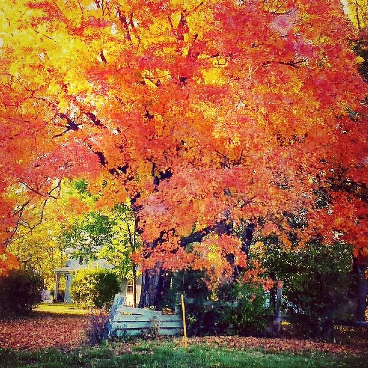 change, autumn, leaf, tree, orange color, nature, beauty in nature, maple tree, tranquility, outdoors, scenics, no people, tranquil scene, day, maple leaf, park - man made space, red, maple