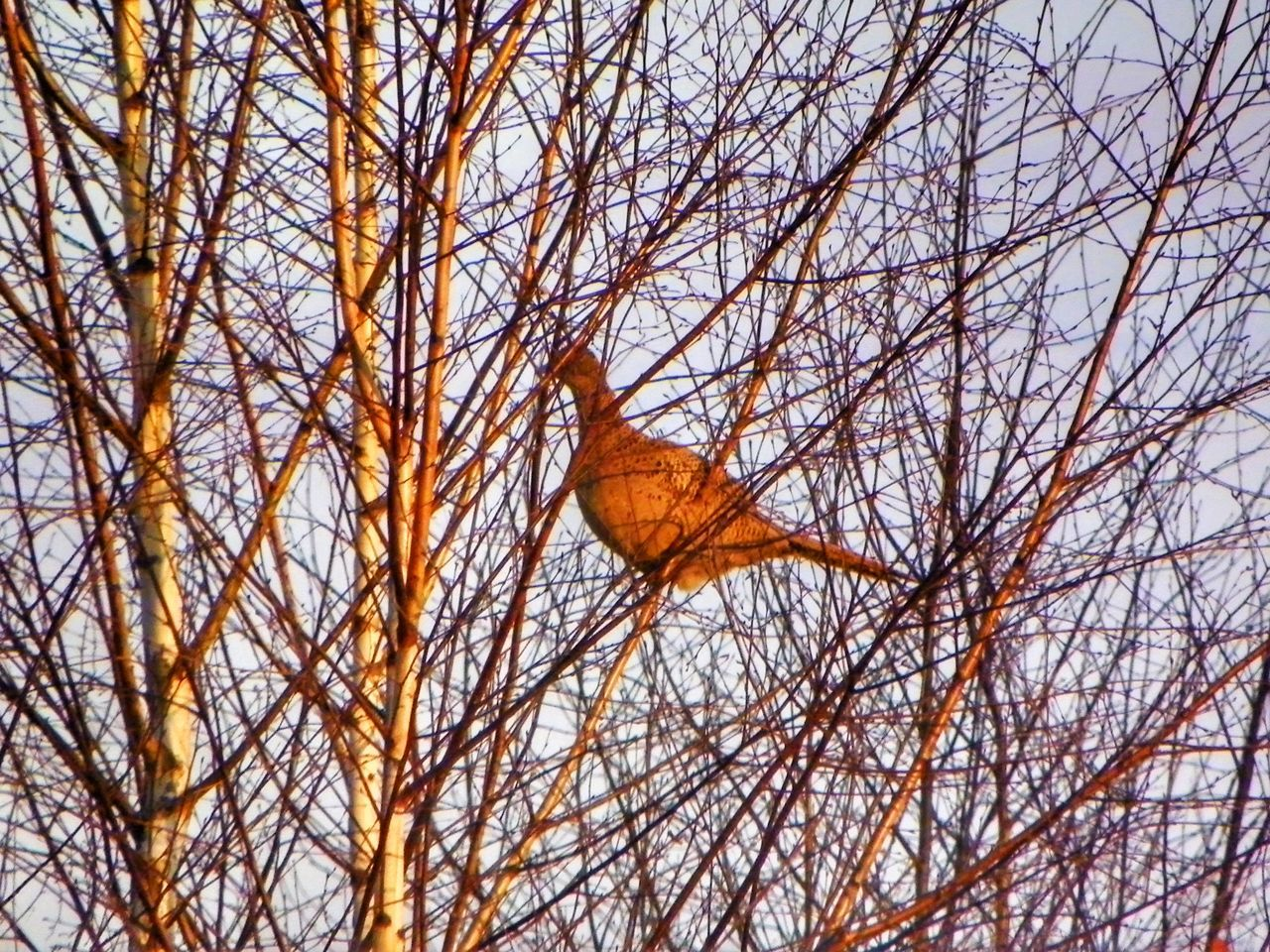 No People Day Beauty In Nature Sky Nature Tree Bird Branch Pheasant Animal One Animal Kodak Kodak Easyshare EyeEm Gallery Zimno Mróz Sarzyna Polska Eyeemphoto Podkarpacie Nature Ptak Bazant Brzoza Tree